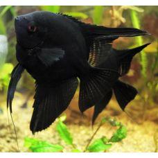 Скалярия черная (2-3см)