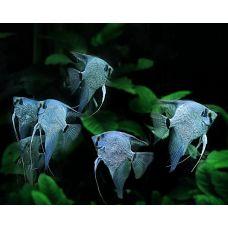 Скалярия голубая (3-4см)