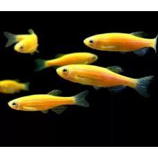 Данио рерио желтый (3-4см)