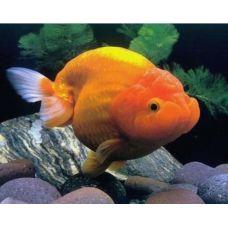 """Золотая рыбка """"Львиноголовка"""" (4 - 5 см)"""