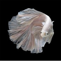 Петушок самец супердельта (размер XL)