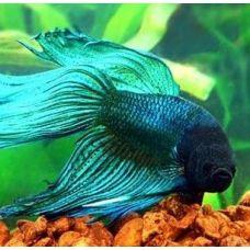 Петушок-самец Вуалехвост зеленый (XL)