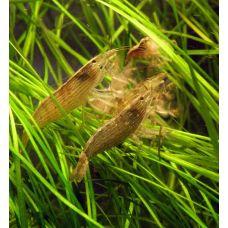Атиопсис, креветка фильтратор (L)