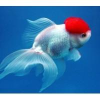 """Золотая рыбка - Красная шапочка"""" (3,8-4,8см)"""