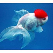 """Золотая рыбка - Красная шапочка"""" (4-5см)"""