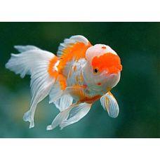 Золотая рыбка - Оранда красно-белая (3.8-4.8см)