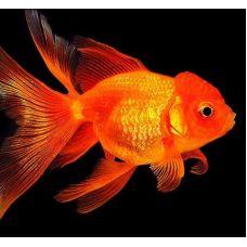Золотая рыбка - Оранда красная (2-3)