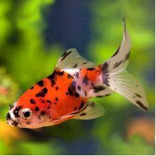 Золотая рыбка - Ситцевая Калико (4-5см)