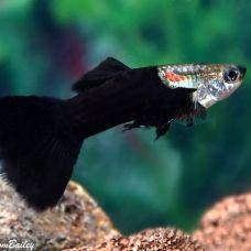 Гуппи черные (самцы) (L)