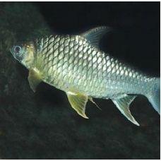 Барбус лещевый золотой (3,8-4,8 см)