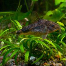 Сом Коридорас крапчатый (2 - 3 см)