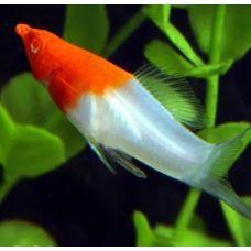 Меченосец красно-белый (3 - 4 см)