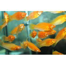 Моллинезия золотая (2 - 3 см)