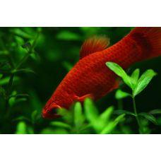 Меченосец Красный (2 - 3 см)