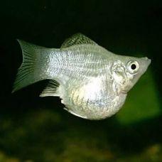 Моллинезия Баллон белая (2 - 3 см)