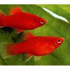 Пецилия Красная (2 - 3 см)