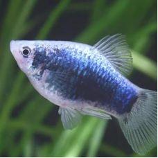 Пецилия Голубая (3 - 4 см)