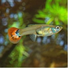 Гуппи самка Кобра красная (размер L)
