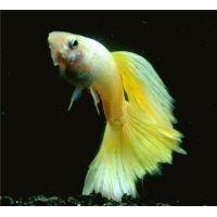 Гуппи Самцы желтые (размер L)