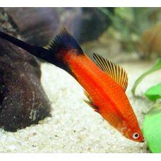 Меченосец красный чернохвостый (3 - 4 см)
