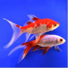 """Золотая рыбка """"Комета"""" (3,8 - 4,8 см)"""