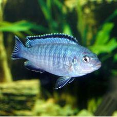 Цихлида Псевдотрофеус Зебра голубая (3 - 4 см)