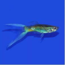 Гуппи самцы Синие лирохвостые (Размер L)