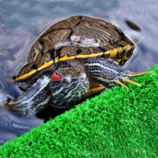 Черепаха красноухая (5 см)
