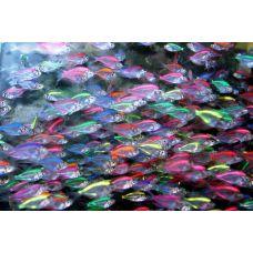 Окунь стеклянный двуцветный (2 - 3 см)