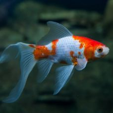 Золотая рыбка Комета ассорти (6 - 7см)