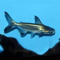 Сом акулий, Пангасиус (6 - 7 см)