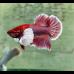 Петушок - Слоновье ухо - самец (размер L)