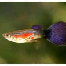 "Гуппи самцы ""фиолетовая королева"" (Размер L)"