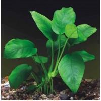 Анубиас Бартери (одиночное растение)