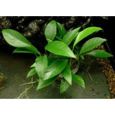 Анубиас Ланцетный (одиночное растение)