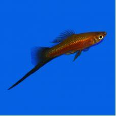 Меченосец красный чернохвостый (2 - 3 см)
