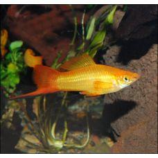 Меченосец золотой (2 - 3 см)