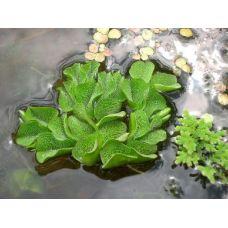 Сальвиния Натанс  (одиночное растение)