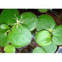 Лимнобиум Леавигатум (одиночное растение)