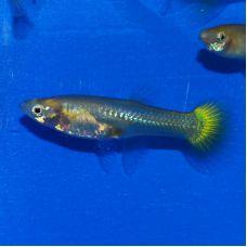Гуппи самки желтые (Размер M)