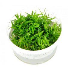 Погостемон  Эректус (меристемное растение)