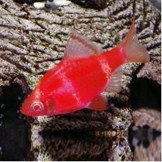 Барбус красный (2 - 3 см)