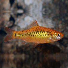 Барбус золотой (2 - 3 см)