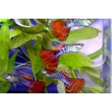 Гуппи самцы мозаика красная (Размер L)