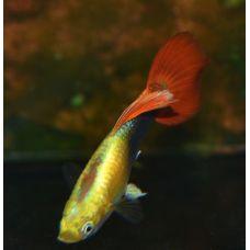 Гуппи Самцы неон красный (размер L)