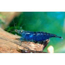 Креветка синяя (1,2 см)