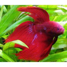 Петушок сиамский самец красный (размер L)