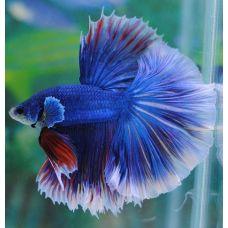 Петушок сиамский самец синий (размер L)
