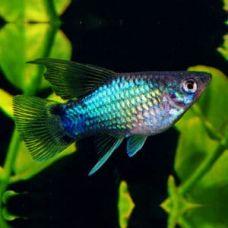 Пецилия голубая Микки Маус (2-3 см)