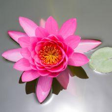 Нимфеягибриднаярозовая (Nymphaea unnamed pink)